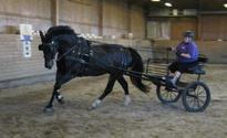 Bilde av hesten Sirius med kjørevogn bak
