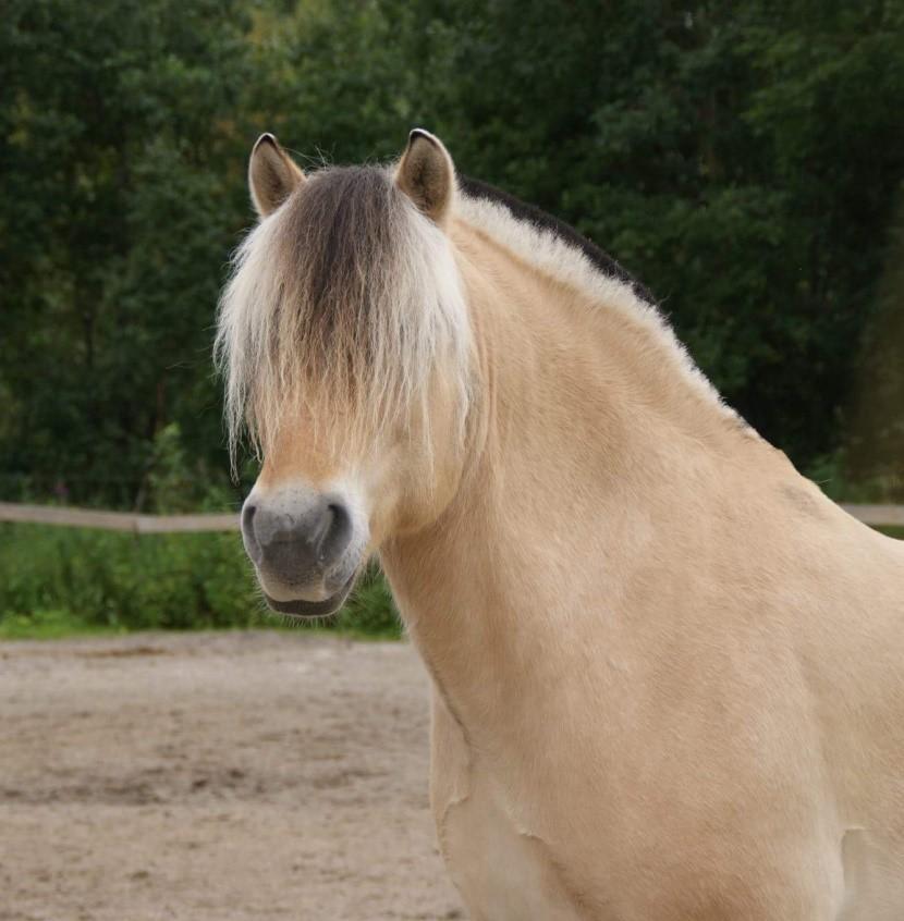 Bilde av hesten Gaute